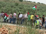 "Israeli Army Uproots Olive Trees in Salfit, ""Settlers Only"" Road to be Opened"