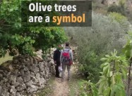 Israeli Soldiers Uproot Hundreds Of Olive Tree For Illegal Colonialist Road