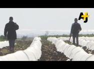 Child Labor On Israeli Farms Exposed