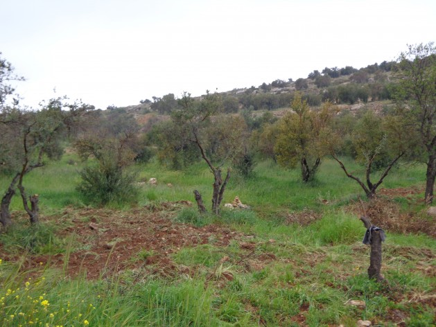 olive-trees-and-gaza-019-629x472