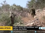 Illegal Israel Squatters uproot hundreds of Palestinian olive trees near Hebron