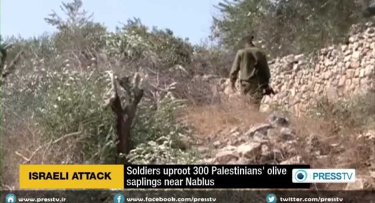 Illegal Israeli Squatters uproot hundreds of Palestinian olive trees near Hebron