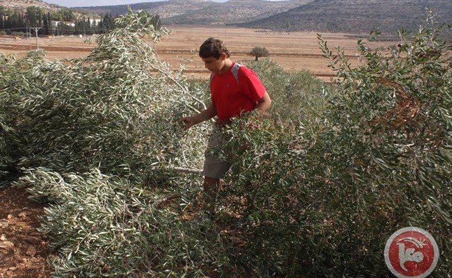 Israeli squatter saboteurs cut down 18 Palestinian trees near Bethlehem