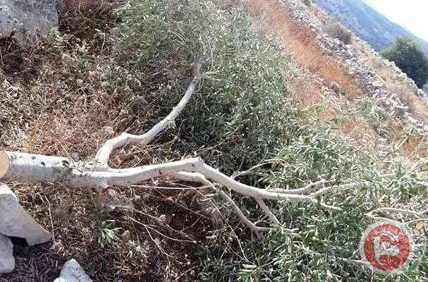 Israeli Squatters Uproot Dozens of Olive Trees in Palestinian Nablus